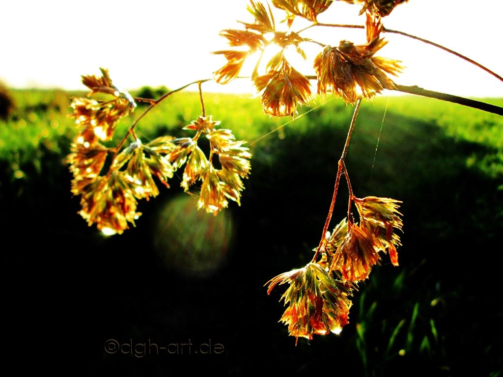 Vor grünem Hintergrund herbstliche Grasdolden im sonnigen Goldglanz.